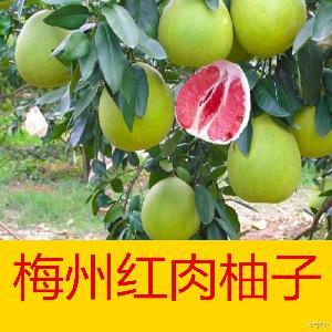血柚 批发 红肉蜜柚 红心蜜柚 红心柚 梅州 2016预订 大埔 红肉柚