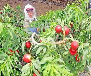 今年大棚油桃批发价格油桃多少钱一斤