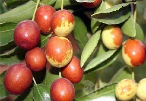山东产地鲜小枣供应商手摘鲜枣