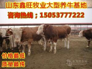 那里的改良夏洛莱肉牛价格低