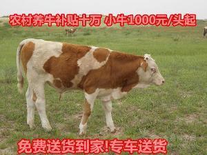 山东鲁西黄牛价格