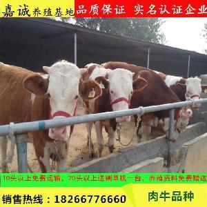 西门塔尔牛养殖 利润及成本 引进牛种