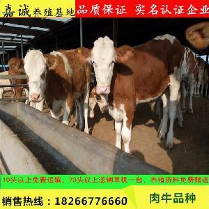 西门塔尔小牛犊价格低的地方
