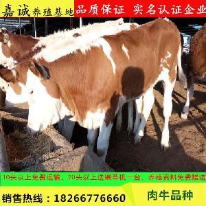 育肥西门塔尔小牛犊价格