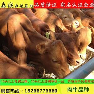 鲁西黄牛去哪里买 2018肉牛价格