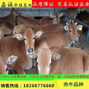 小牛犊价格 鲁西黄牛犊 纯种3-6个月 牛活体