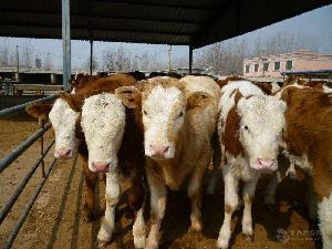鲁西肉牛犊多少钱一只鲁西黄育肥牛犊价格