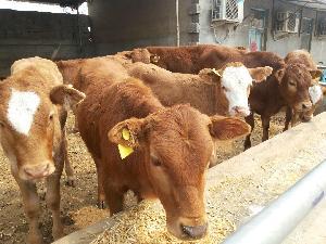 山东小牛犊多少钱一头$小牛犊价格
