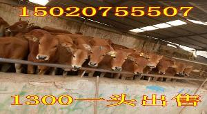 贵州大型养牛厂