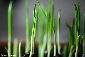 新鲜农产品宏鸿一站式食材食堂配送-大蒜叶