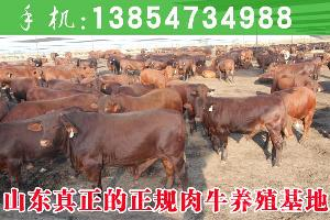 哪里牛犊便宜