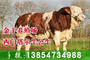 西门塔尔育肥牛犊