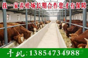 改良西门塔尔牛养殖场