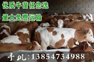 300斤鲁西黄牛肉牛犊价格