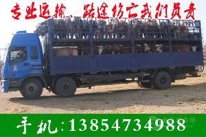 改良肉牛养殖场