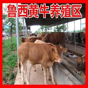 湖北武汉大型养牛基地