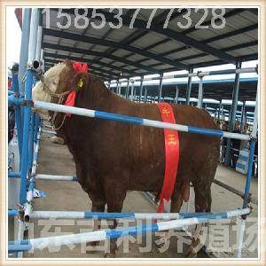 利木赞牛犊养殖场