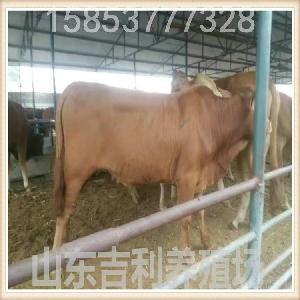 晋城黄牛犊多少钱一头