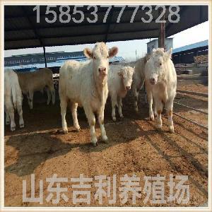 卖小牛犊.