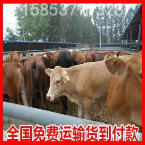 内蒙古小肉牛