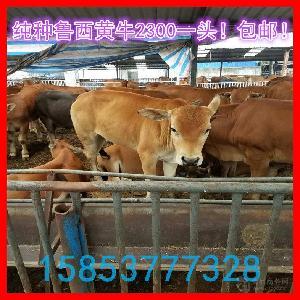 西门塔尔肉牛犊价格.
