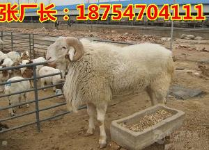 现在小尾寒羊多少钱$小尾寒羊羊羔多少钱
