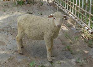 小尾寒羊多少钱斤$小尾寒羊活羊价格