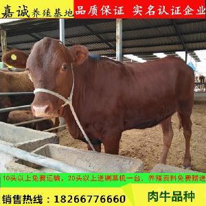 小牛犊价格 利木赞牛什么价格 养殖利润