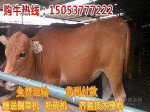 利木赞肉牛多少钱市场价格