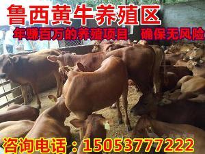 哪里销售纯种安格斯肉牛纯种种牛崽