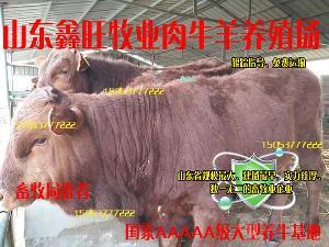 *利木赞牛犊价格