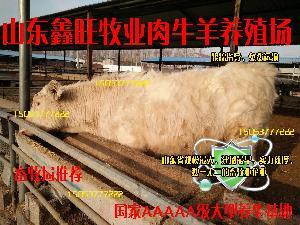 小牛犊*价格小尾寒羊价格行情