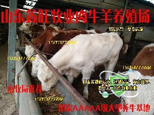 三百斤的安格斯牛肉牛犊价格