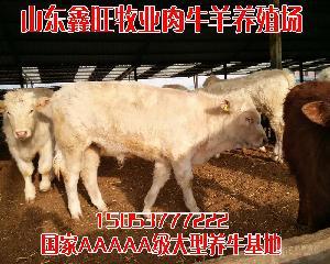 哪里可以买到纯种菜牛怀孕母牛