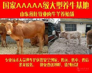 利木赞牛犊价格