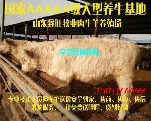 改良肉牛品种价钱