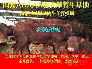利木赞牛犊小牛犊的价格改良牛