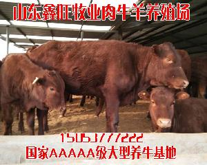 育肥肉牛犊几个月出栏小牛苗