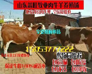 西门塔尔肉牛犊价格小牛
