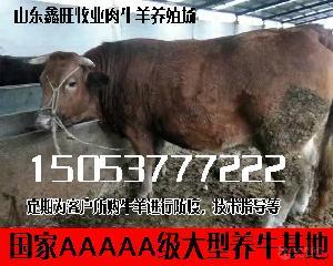 云岭牛种牛哪里有安格斯肉牛