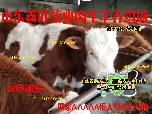 西门塔尔牛养殖技术纯种公牛