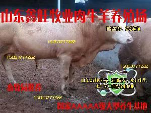 哪里有卖利木赞牛犊价格便宜吗销售黄牛犊