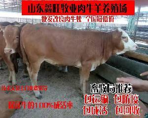 小黄肉牛多少钱一条小牛犊小牛犊