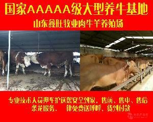 哪里出售纯种利木赞公牛黄牛种牛