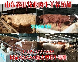 肉牛崽价格报价饲养小牛犊成本