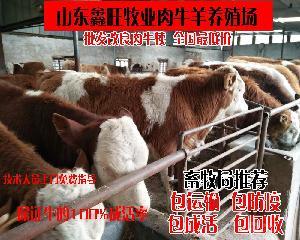 山东鲁西黄牛娃子养殖场改良牛