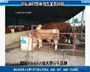 育肥牛牛舍建设视频纯种小肉牛苗