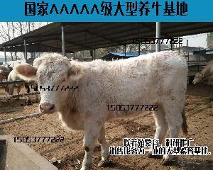 犊牛的价格纯种肉牛育肥牛犊