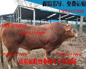 哪里销售利木赞牛犊牛