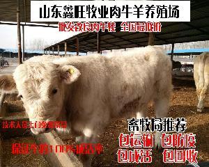 西门塔尔肉牛牛犊价格活牛